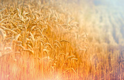 Harvest has begun. Field of wheat Stock Images