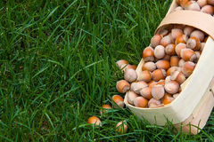 Harvest of hazelnuts in a wicker basket made of birch bark on the green grass Royalty Free Stock Images