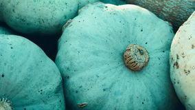 Harvest: Heap of Blue Kuri Hokkaido Pumpkin, Cucurbita maxima. Pan Shot stock video footage