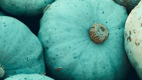 Harvest: heap of blue kuri Hokkaido Pumpkin, Cucurbita maxima. Zoom Out stock video