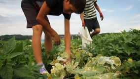 Harvest helper looking for cucumbers at plantation stock video