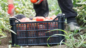 Harvest helper picking up fresh tomatoes at plantation stock video