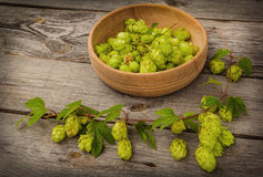 Harvest of hops Royalty Free Stock Image