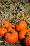 Harvest In A Field Of Pumpkins In Early Fall Stock Photo
