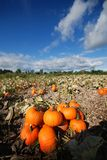 Harvest In A Field Of Pumpkins In Early Fall Royalty Free Stock Images