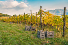 Harvest in the Italian hills. Royalty Free Stock Image