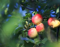 Harvest juicy apples grow in the garden on a Sunny day. Harvest ripe juicy apples grow in the garden on a Sunny day Stock Image