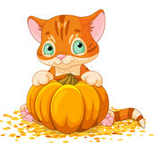 Harvest Kitten Royalty Free Stock Image