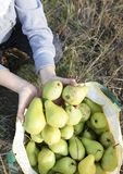 Harvest of large green juicy pears in early autumn Stock Image