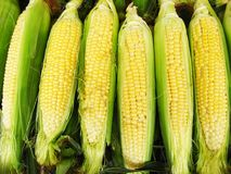 Harvest of a maize Stock Photo