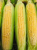 Harvest of a maize Stock Images