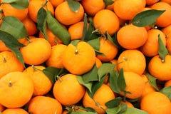 Harvest of mandarins varieties clementines Stock Image