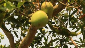 Harvest mango in the garden. The harvest mango in the garden stock video