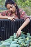 Harvest mango Stock Image