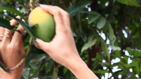 Harvest mangoes on the tree