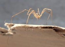 Harvest men arachnid on a cardboard Royalty Free Stock Photography