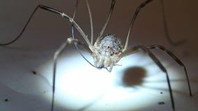 Harvest men arachnid cleaning its leg stock footage