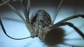Harvest men arachnid male cleaning its leg. A harvest men arachnid male cleaning its leg stock video footage