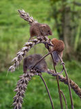 Harvest mice Stock Photos