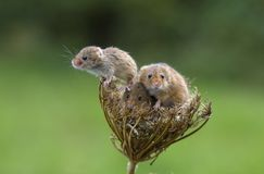 Harvest Mouse - Micromys minutes. Harvest mice - Micromys minutes climbing on dead seed heads stock photos