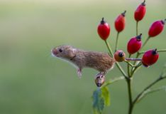 Harvest Mouse - Micromys minutes. Harvest mice - Micromys minutes climbing on rose hip branch using tail to keep hold stock images