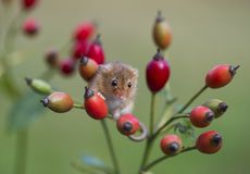 Harvest Mouse - Micromys minutes. Harvest mice - Micromys minutes climbing on rose hips stock photo
