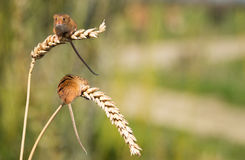 Harvest Mice Royalty Free Stock Photo