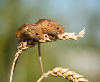 Harvest Mice Stock Photo