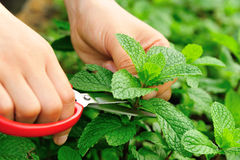 Harvest mint plants Royalty Free Stock Images