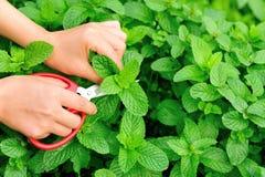 Harvest mint plants Stock Photo