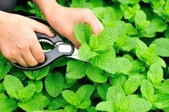 Harvest mint plants Royalty Free Stock Photography