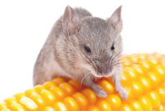 Harvest Mouse. Micromys minutus, climbing on  corn, studio shot Stock Photography