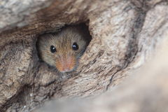 Harvest mouse. The harvest mouse looking out of the shelter Stock Photography