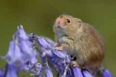 Harvest mouse on bluebells royalty free stock photo