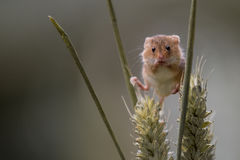 Harvest Mouse Stock Photography