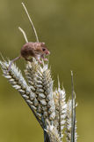 Harvest Mouse Stock Photos