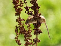 Harvest Mouse Stock Images