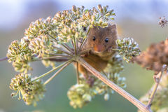 Harvest mouse feeding on seeds. Harvest mouse (Micromys minutus) feeding on seeds of cow parsley (Anthriscus sylvestris) and looking in the camera stock image