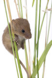 Harvest Mouse in front of a white background stock photography