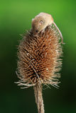 Harvest mouse. Micromys minutus close-up Stock Photos