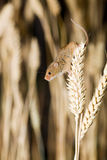A Harvest Mouse in its Natural Habitat. A harvest mouse clambering through a wheat field before harvest time Stock Photos