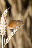 A Harvest Mouse in its Natural Habitat. A harvest mouse clambering through a wheat field before harvest time Stock Images