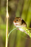 A Harvest Mouse in its Natural Habitat. A harvest mouse clambering through a wheat field before harvest time Royalty Free Stock Photography