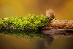 Harvest mouse. A little cute harvest mouse on an old mossy log in a reflection pool Stock Photo