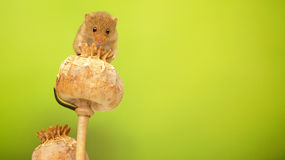 Harvest mouse. A little cute harvest mouse on a poppy seed head Stock Image
