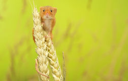 Harvest mouse. A little cute harvest mouse on some wheat looking at the camera stock photo
