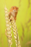 Harvest mouse. A little cute harvest mouse on some wheat looking at the camera Royalty Free Stock Photo