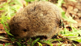 Harvest mouse stock video footage