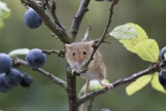 Free Harvest Mouse, Mice Close Up Portrait Sitting On Thistle, Corn, Wheat, Brambles, Sloe, Daisy, Flowers Stock Photos - 103404703