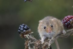 Free Harvest Mouse, Mice Close Up Portrait Sitting On Thistle, Corn, Wheat, Brambles, Sloe, Daisy, Flowers Royalty Free Stock Image - 103424656